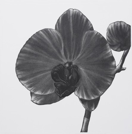 <i>Phalaenopsis yukimai</i>, 2005. Aquatint printed in black, paper 50 x 50 cm.