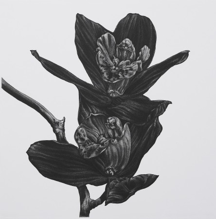 <i>Cymbidium showgirl</i>, 2005. Aquatint printed in black, paper 50 x 50 cm.